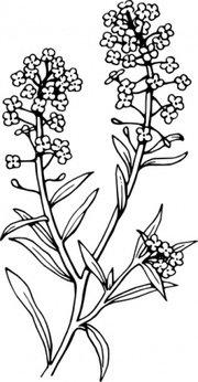 Alyssum Clip Art, Vector Alyssum.