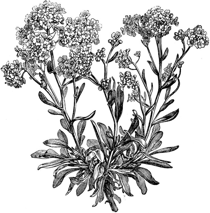 1000+ images about alyssum tattoo inspiration on Pinterest.