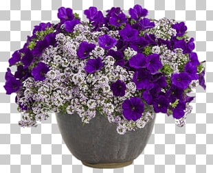 3 sweet Alyssum PNG cliparts for free download.