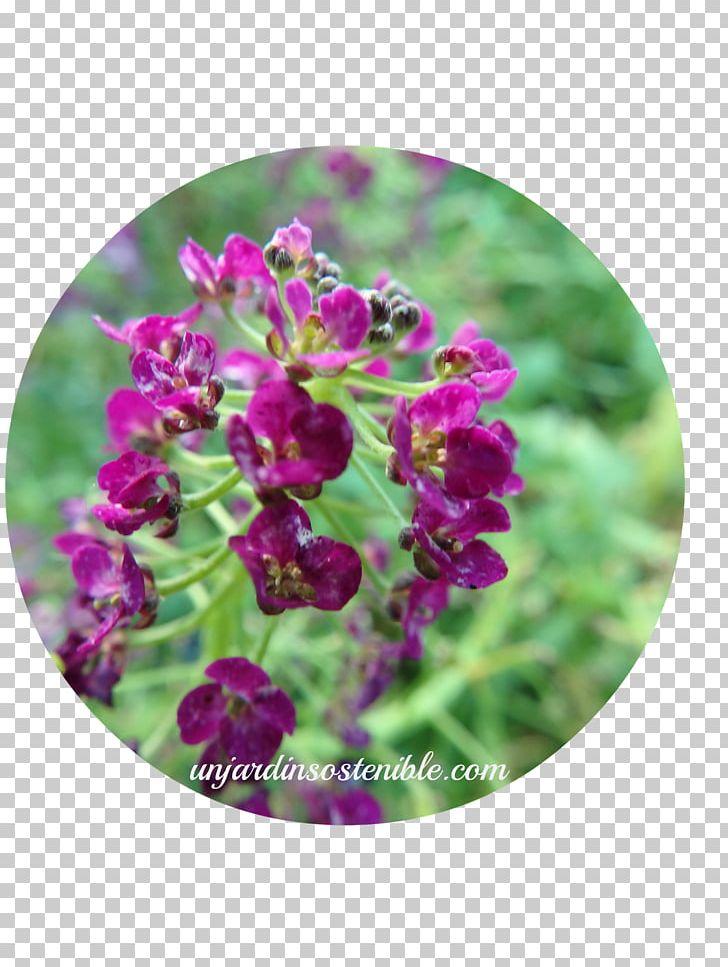 Sweet Alyssum Plant Acanthaceae Ruellia Petunia PNG, Clipart.