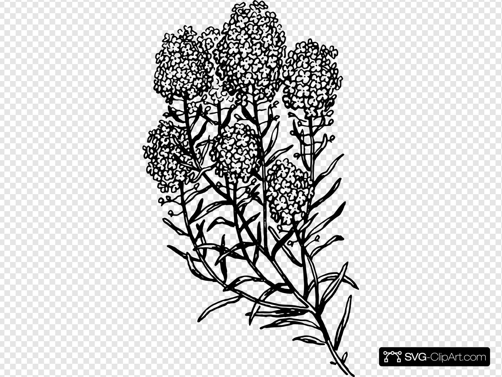 Alyssum Drawing Clip art, Icon and SVG.