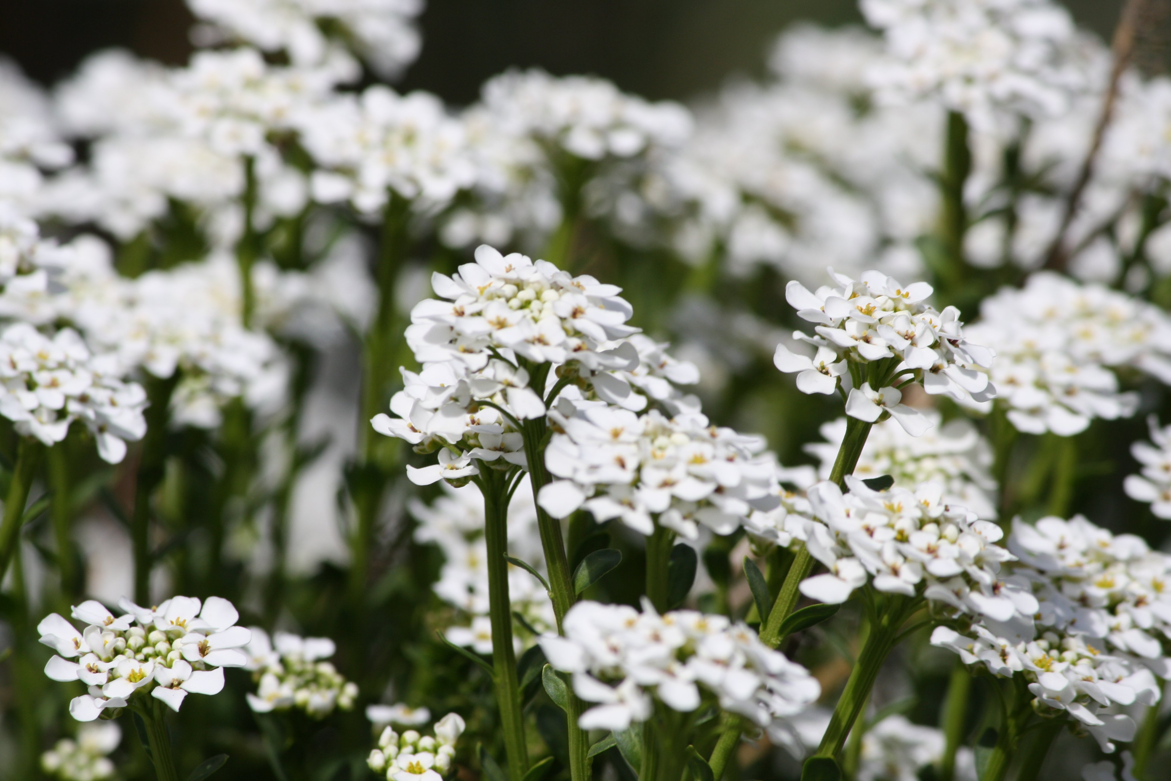 Sweet Alyssum White Flowers Picture.
