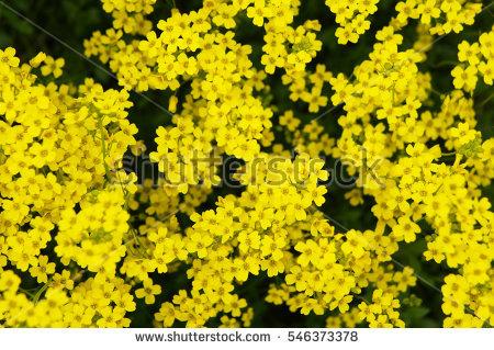 Alyssum Flowers Stock Photos, Royalty.