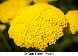 Stock Image of Alyssum saxatile.