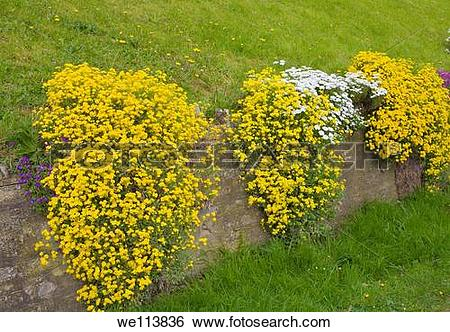 Stock Images of Alyssum saxatile and White Rock plant growing down.