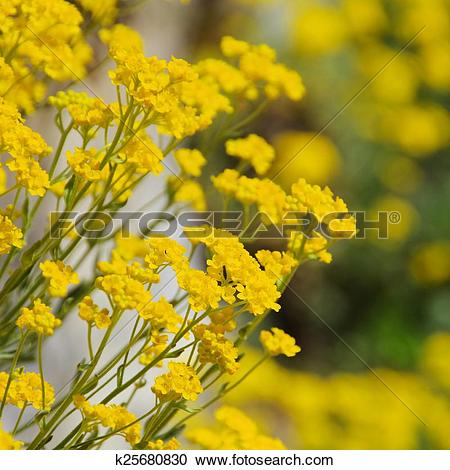 Stock Photography of Alyssum saxatile k25680830.