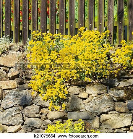 Stock Photo of Alyssum saxatile k21075664.