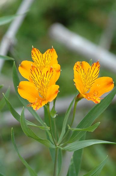 Amancay, típica flor de la patagonia.