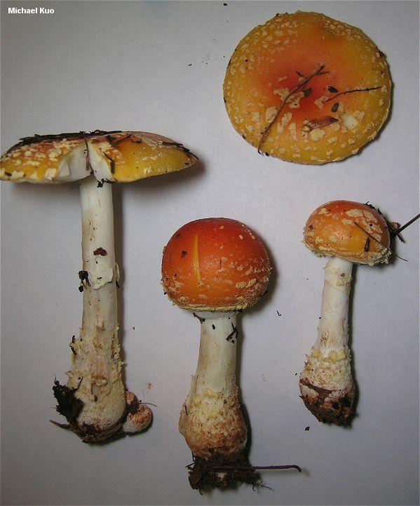 Amanita muscaria var. persicina (MushroomExpert.Com).