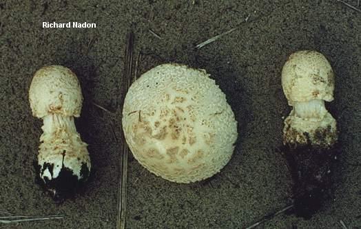 Amanita muscaria var. alba (MushroomExpert.Com).
