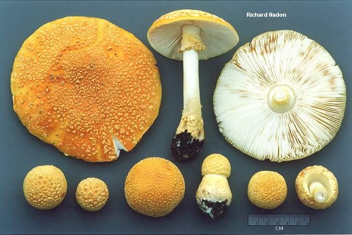 Amanita muscaria var. guessowii (MushroomExpert.Com).