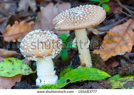 Amanita Pantherina Stock Photos, Royalty.