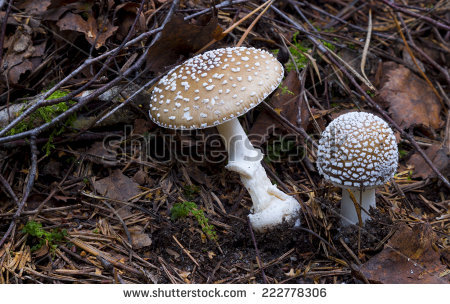 "amanita Pantherina"" Stock Photos, Royalty."