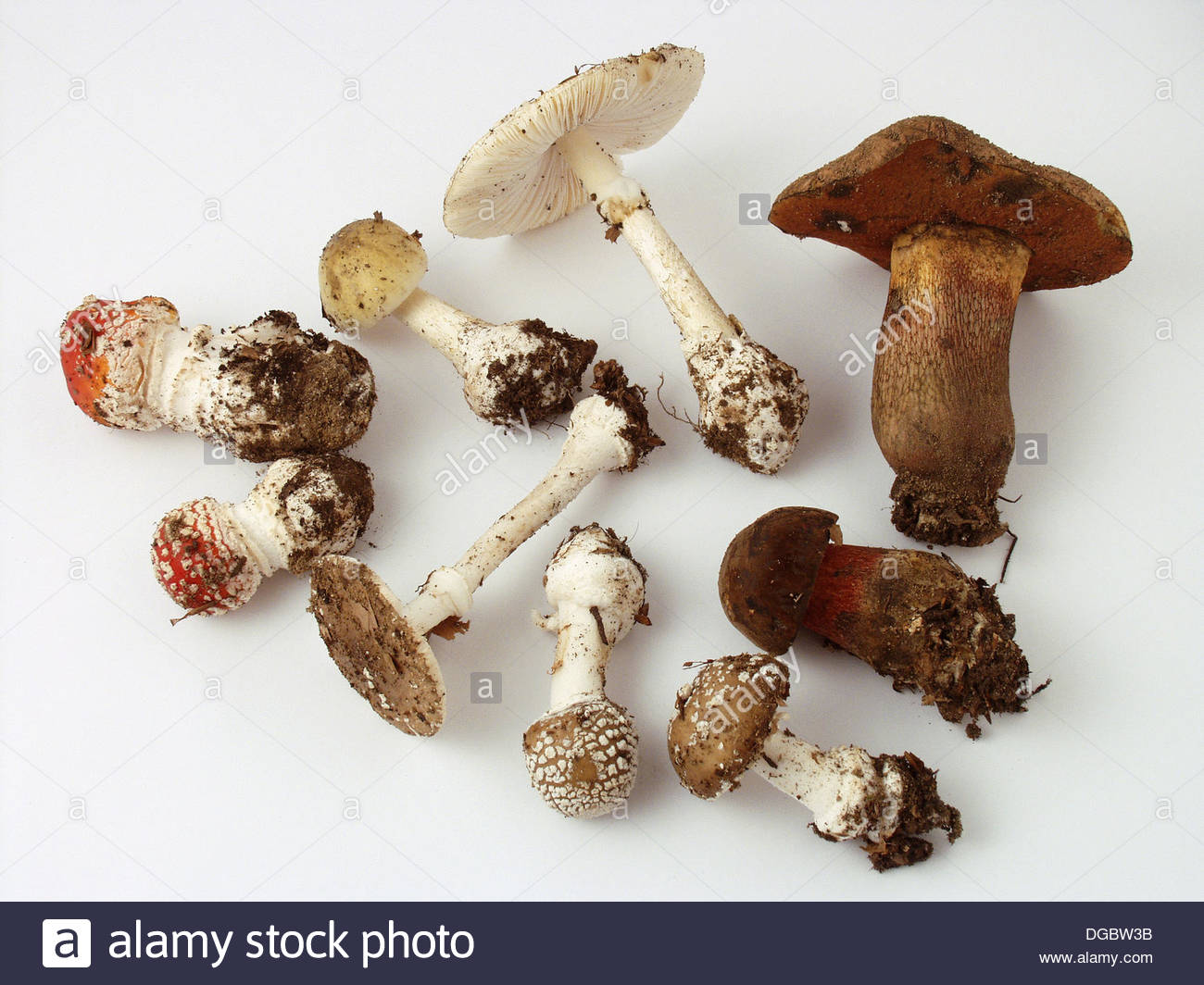 Amanita Phalloides Mushrooms Stock Photos & Amanita Phalloides.