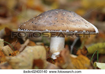 Stock Photography of Panther cap or false blusher mushroom.