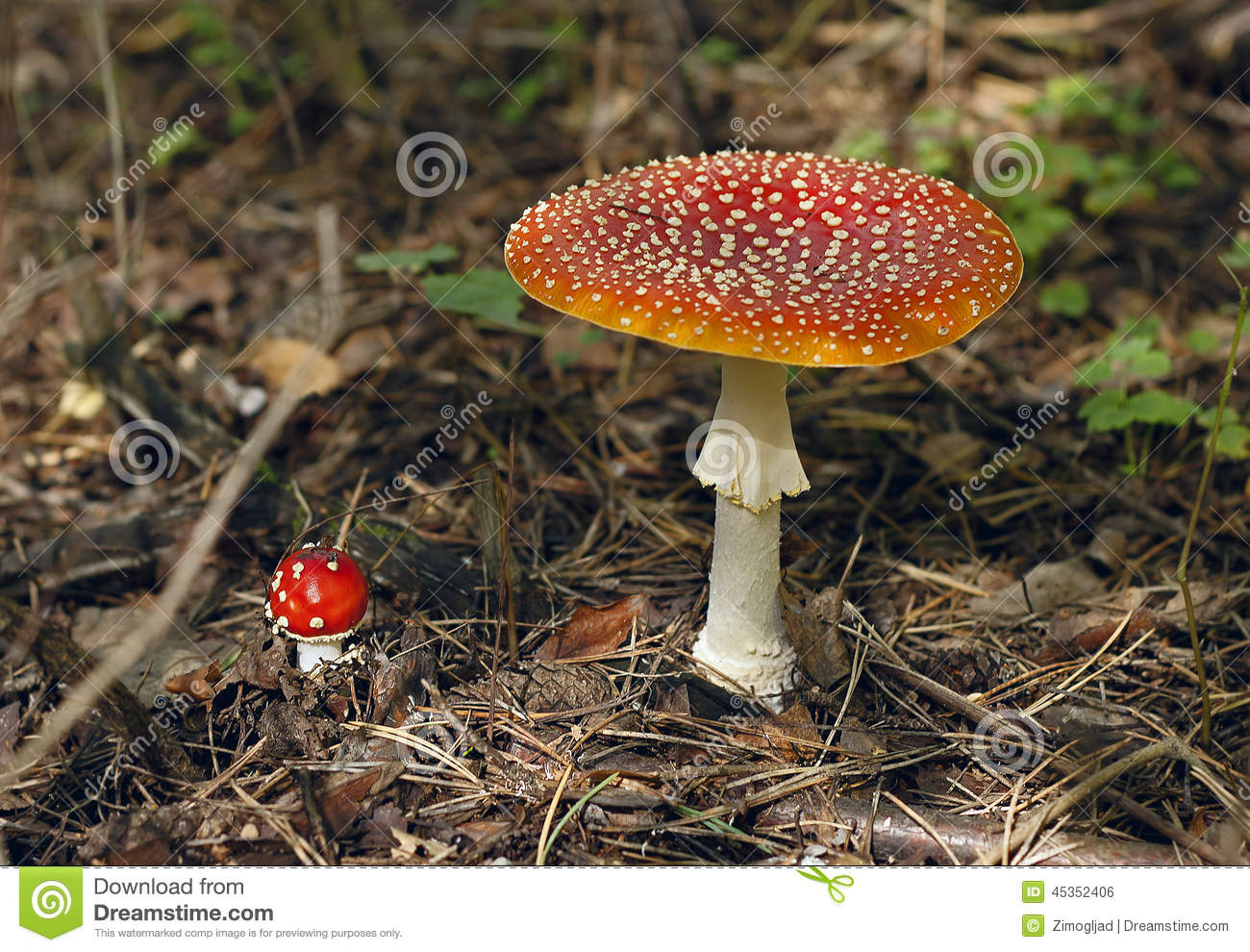 Amanita Pantherina. Stock Photo.