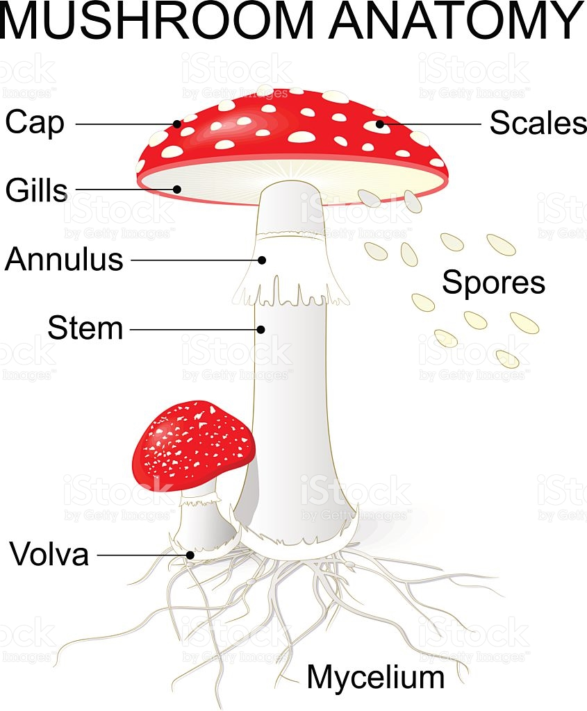 Parts Of A Mushroom Amanita stock vector art 598710164.