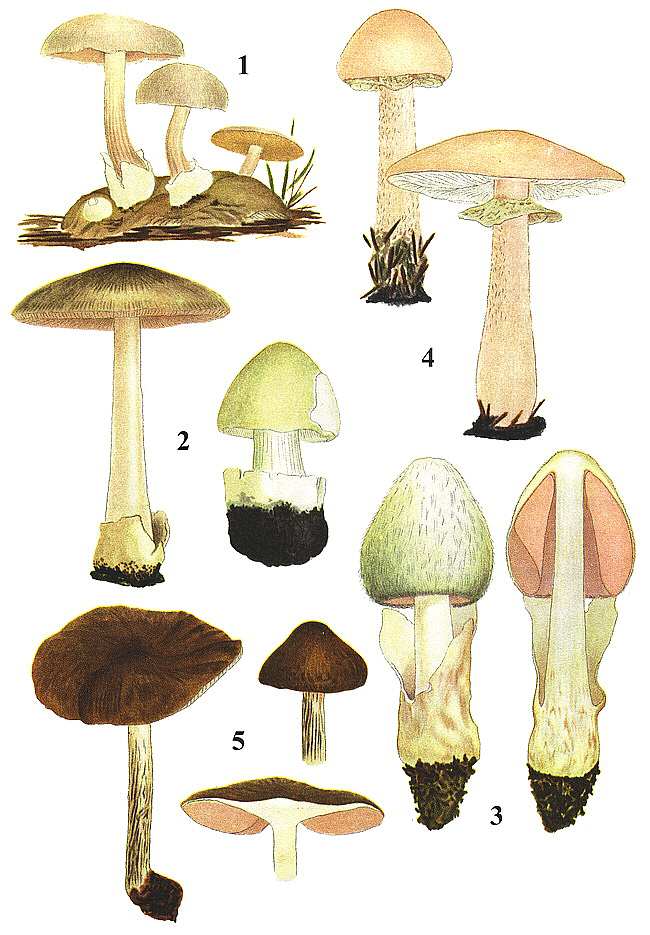 British Mushrooms and Toadstools.