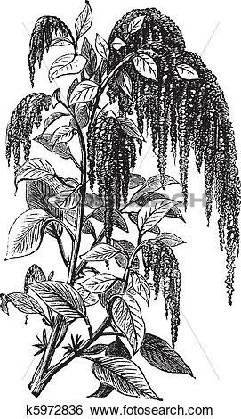 Clip Art of Foxtail amaranth or Amaranthus caudatus vintage.