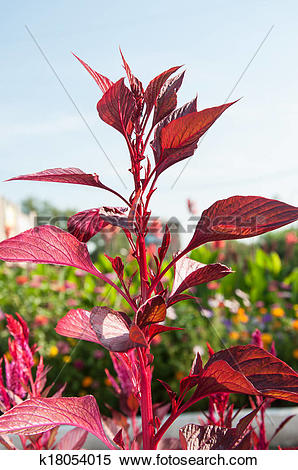 Stock Image of Amaranth is one of the family Amaranthaceae.