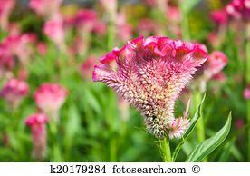 Amaranthaceae Stock Photo Images. 381 amaranthaceae royalty free.