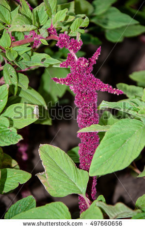 Amaranthaceae Banco de imágenes. Fotos y vectores libres de.