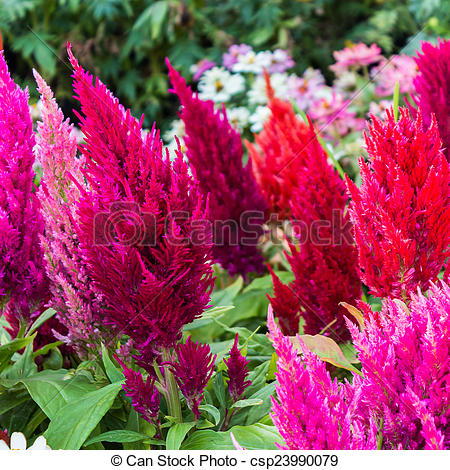 Picture of Plumed Celusia, Wool Flower, Celosia cristata.