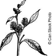 Amaranthaceae Illustrations and Stock Art. 10 Amaranthaceae.