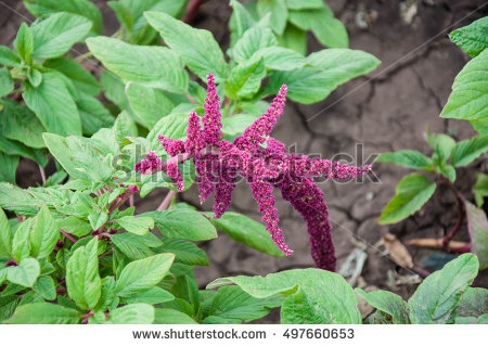Amaranthaceae Stock Images, Royalty.