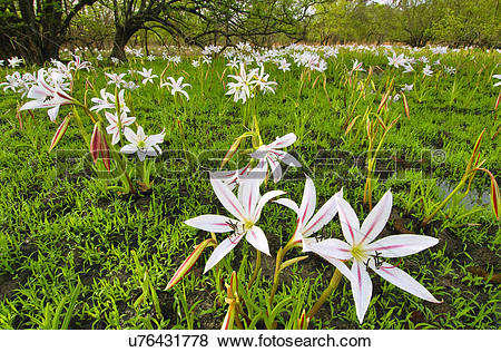 Pictures of Spider lilies, Amaryllidaceae sp., Niokolo.