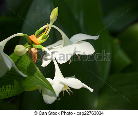 Stock Photos of Amazon lily, Amaryllidaceae, Colombia (Andes.