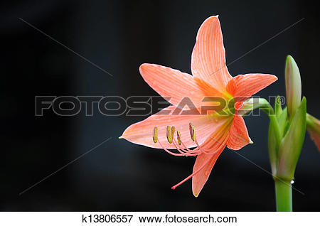Picture of Coral star lily (Hippeastrum sp., Family.