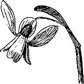 Amaryllidaceae Clip Art.