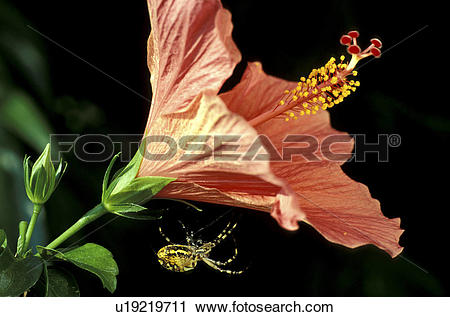 Stock Photography of stempel, abloom, amarylis, amaryllidaceae.
