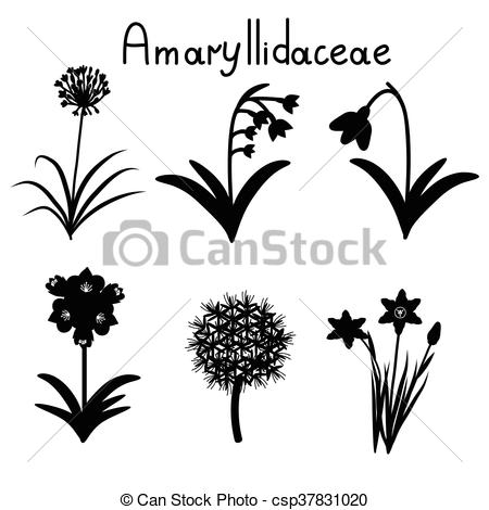 Vector Illustration of Amaryllidaceae plant family examples set.