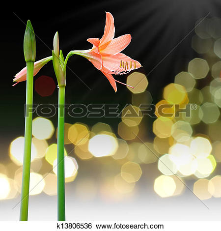Stock Images of Coral star lily (Hippeastrum sp., Family.