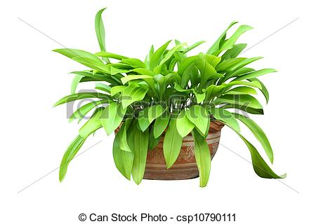 Stock Photography of Phaedranassa is a genus in the Amaryllidaceae.