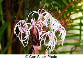 Pictures of Crinum thaianum, Amaryllidaceae, Onion plant, Thai.