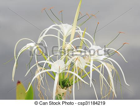 Stock Photography of Spider Lily (Hymenocallis speciosa.