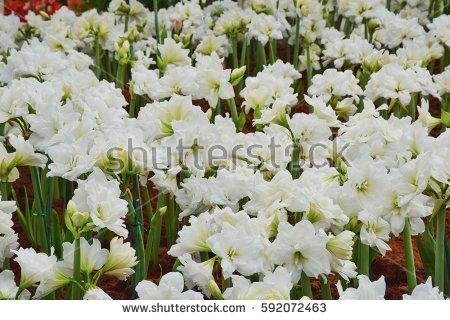 Amaryllidaceae Stock Photos, Royalty.