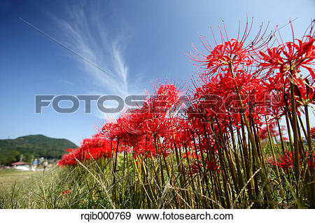 Stock Photograph of Amaryllidaceae flowers and blue sky rqib000769.
