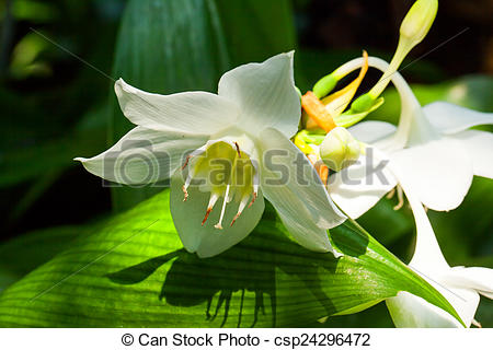 Picture of Amazon lily, Amaryllidaceae, Colombia (Andes Mountains.