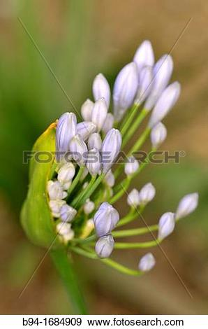 Stock Photograph of African Lily (Agapanthus africanus, syn.