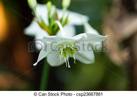 Pictures of Amazon lily, Amaryllidaceae, Colombia (Andes Mountains.