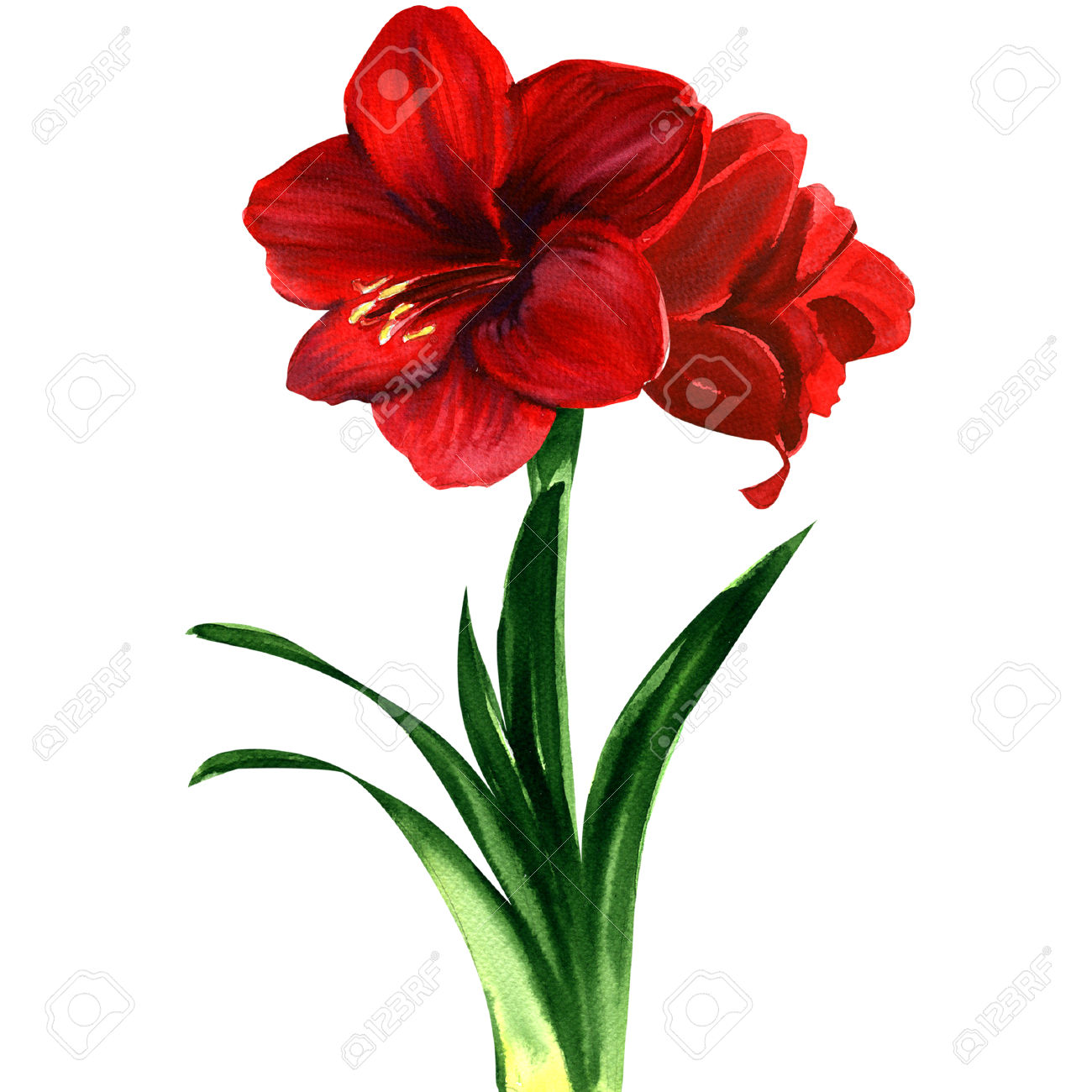386 Amaryllis Stock Vector Illustration And Royalty Free Amaryllis.