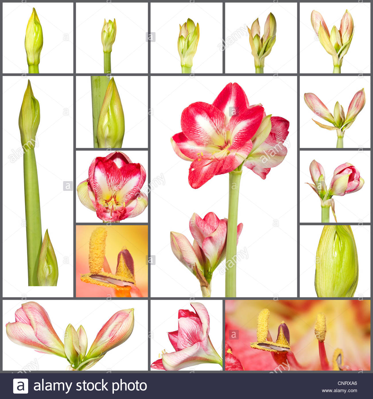 Collage Of An Amaryllis Plant Growth Phases On White Background.