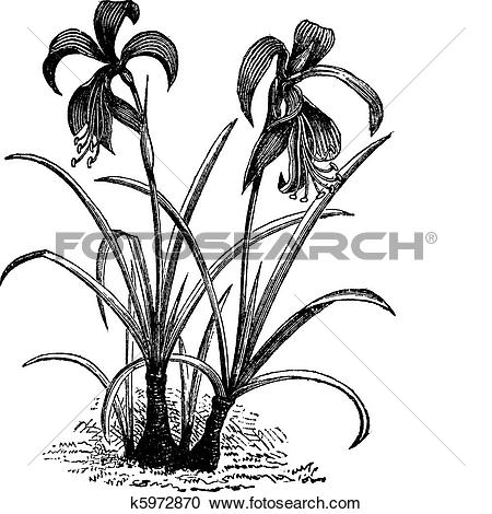 Clipart of Amaryllis, belladonna lily or naked lady flower vintage.