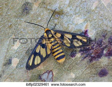 """Stock Photography of """"Wasp Moth (Amata huebneri), adult female."""