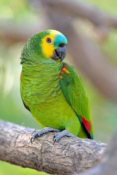 22 Best Blue fronted amazon parrot images.