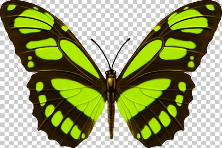 Monarch Butterfly Amazon Rainforest Insect PNG, Clipart.